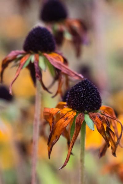 dividing perennials in the summer