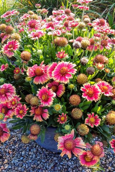 blanketflower longest blooming perennial