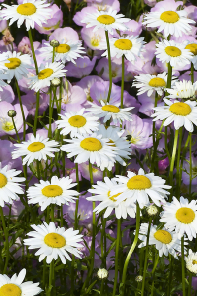 longest blooming perennials