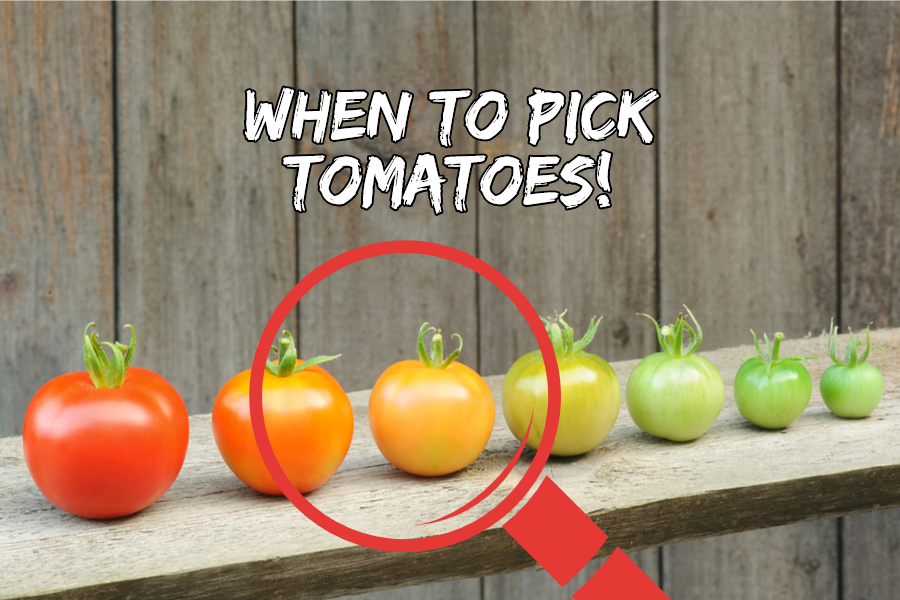 when to pick tomatoes 1
