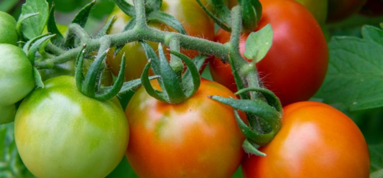 when to pick tomatoes