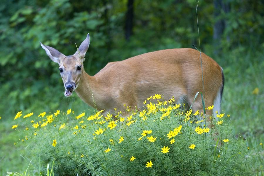 deer resistant perennial plants