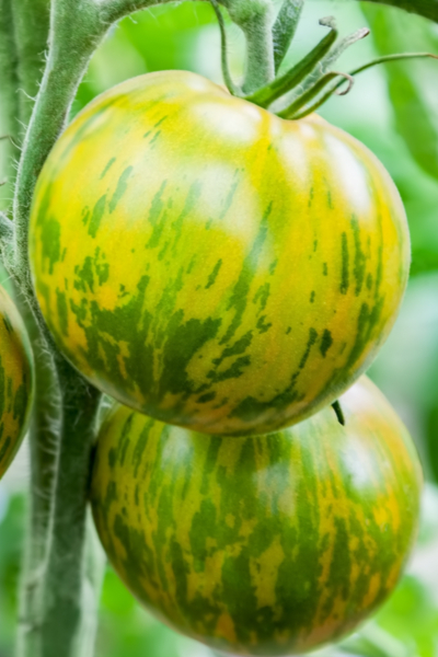 how to save heirloom tomatoes