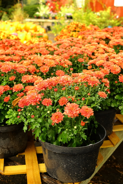 mums on display
