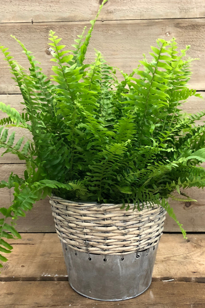 bringing ferns indoors