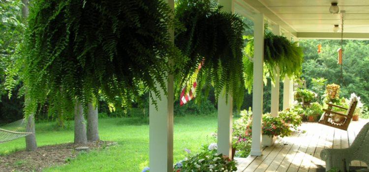 overwintering ferns