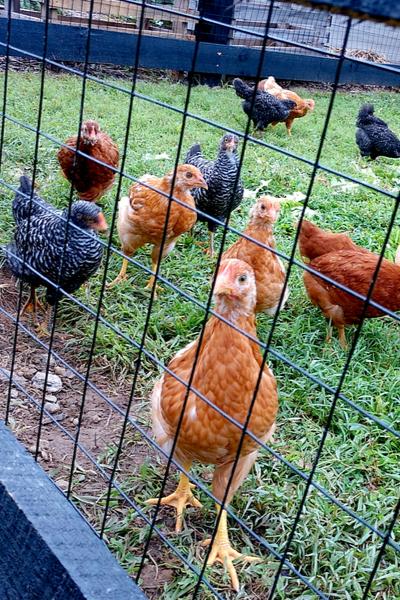 chickens in the run