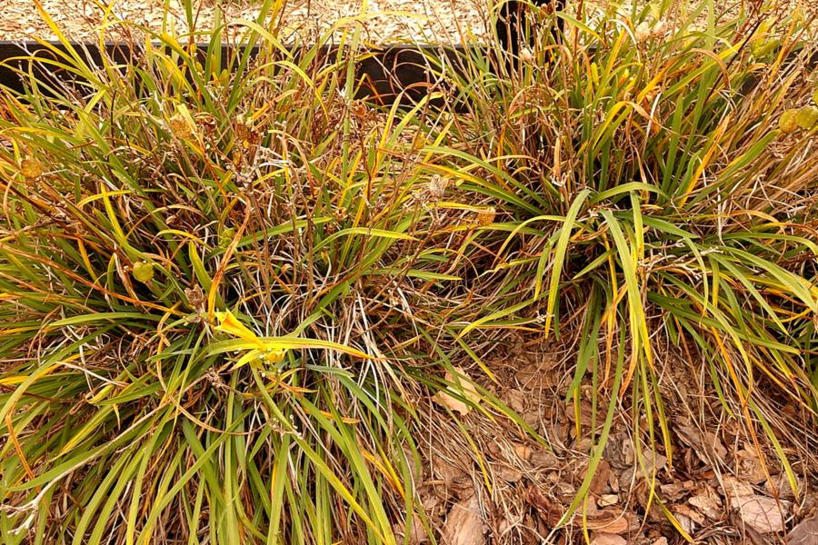 fall daylily care