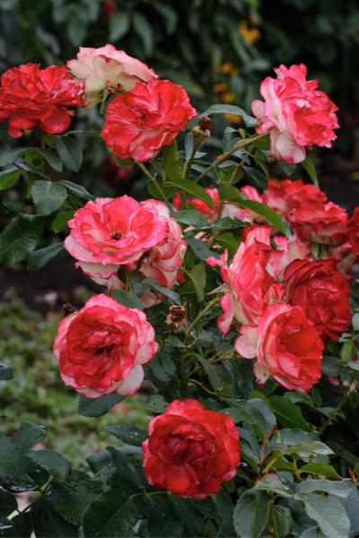 fall rose care
