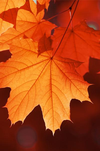 maple leaf - making compost