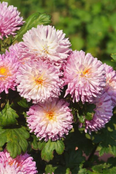 overwintering perennials