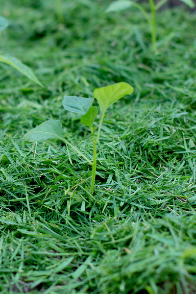 salad crops with clippings
