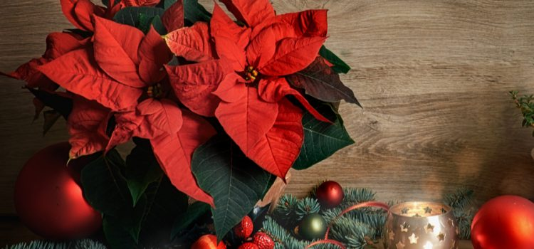 how to keep poinsettia beautiful