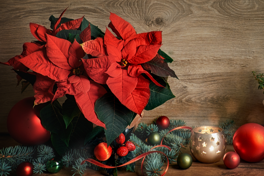 how to keep poinsettia beautiful