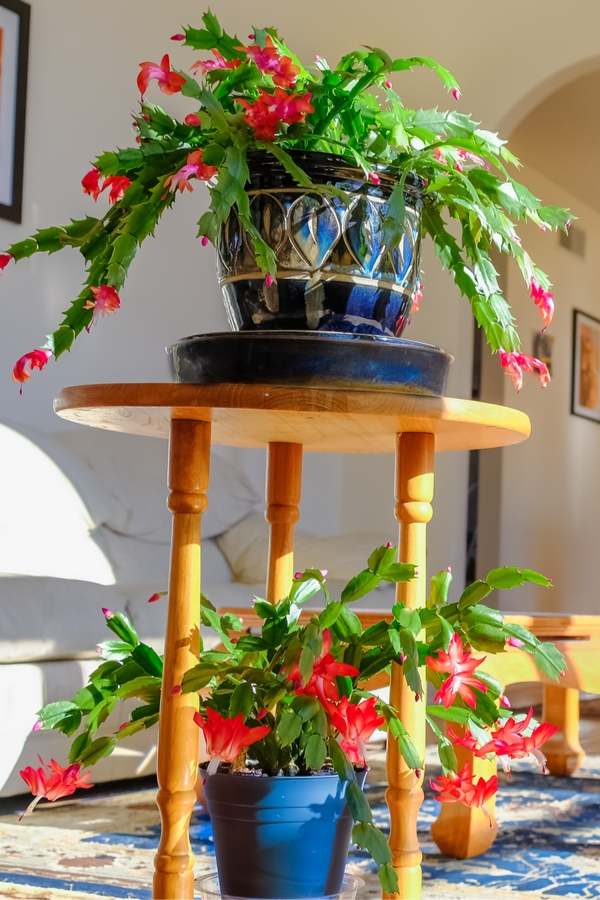 Christmas Cactus Care - lighting