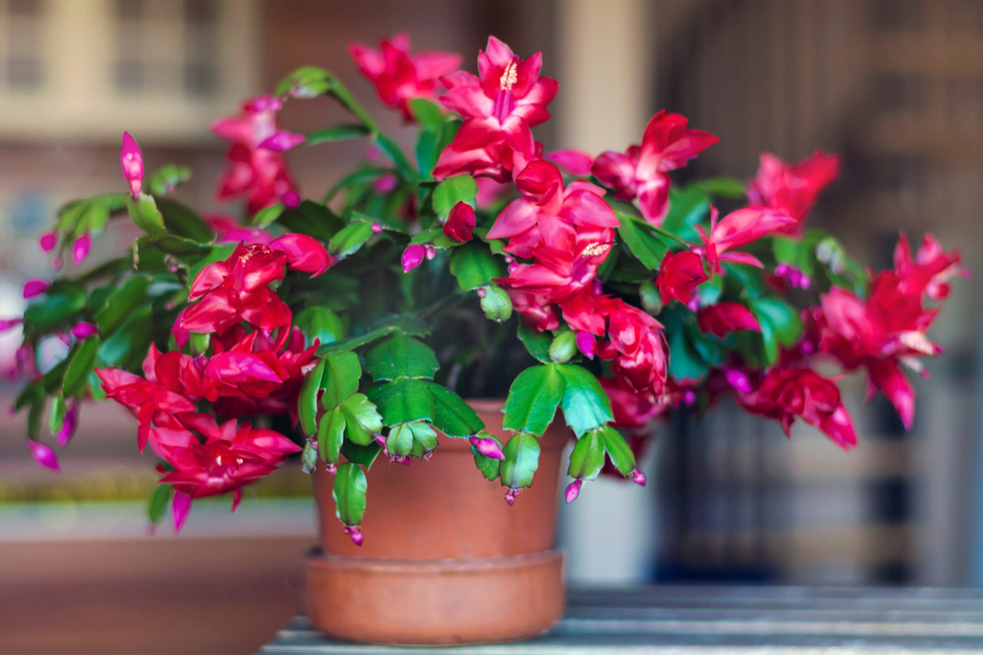 caring for a Christmas Cactus