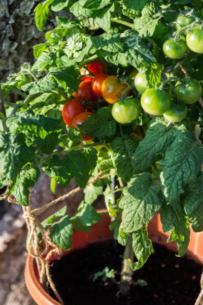 grow tomatoes in 5 gallon buckets