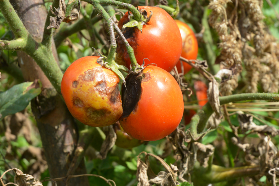 how to prevent tomato blight
