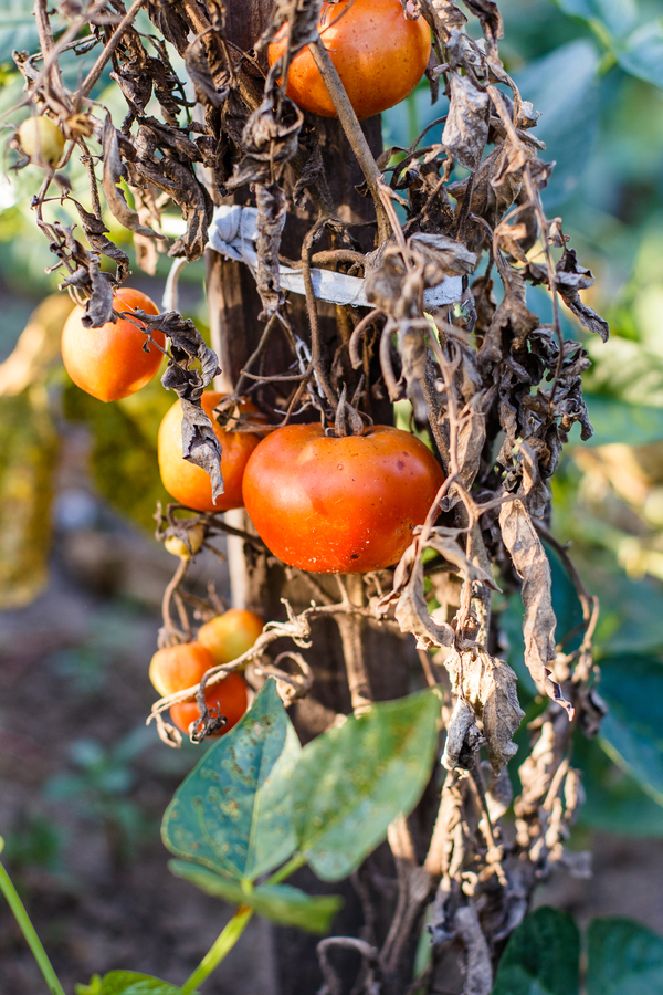 Tomaten kompostieren