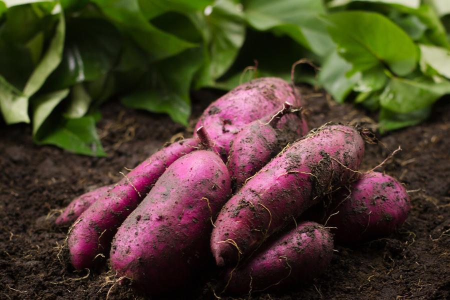 growing sweet potato slips