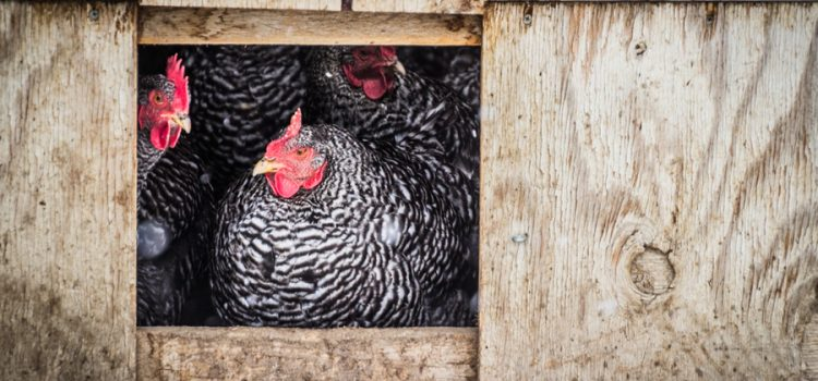 how to keep chickens safe and warm