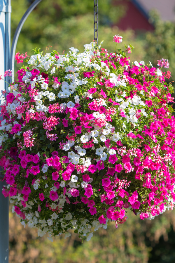 growing hanging baskets from seed