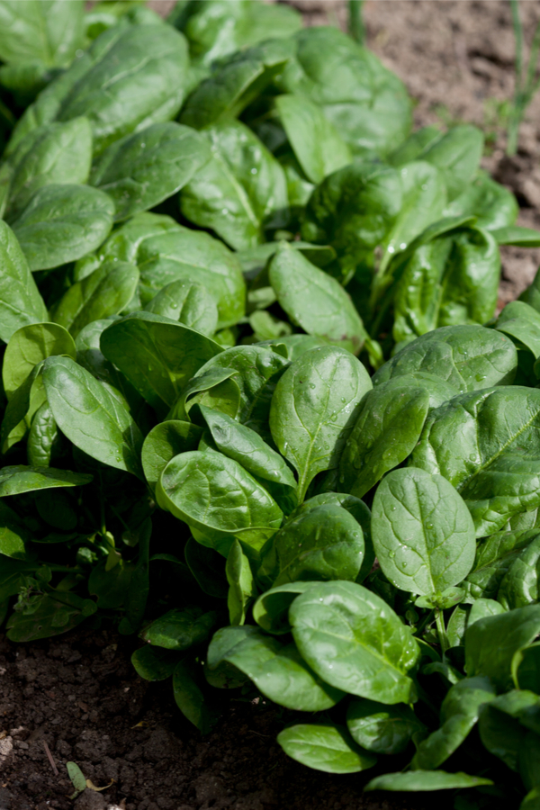 fresh spinach - early spring crops