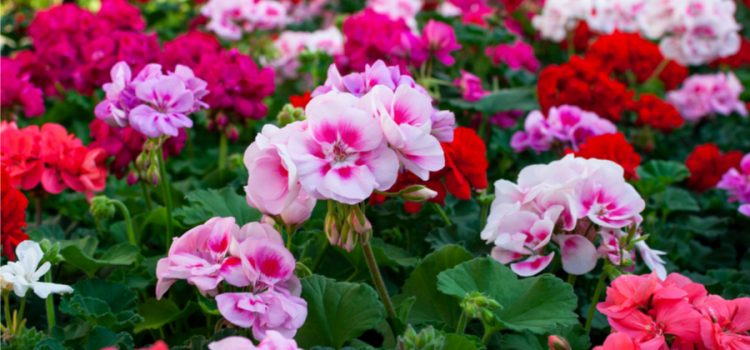 keep your geraniums flowering