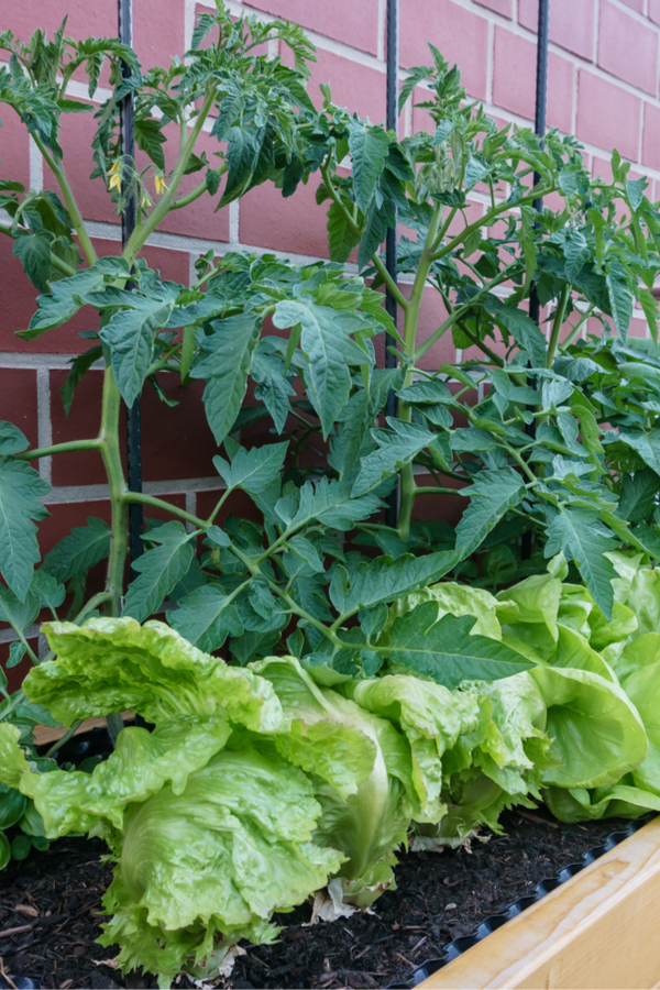 lettuce and tomatoes - companion planting