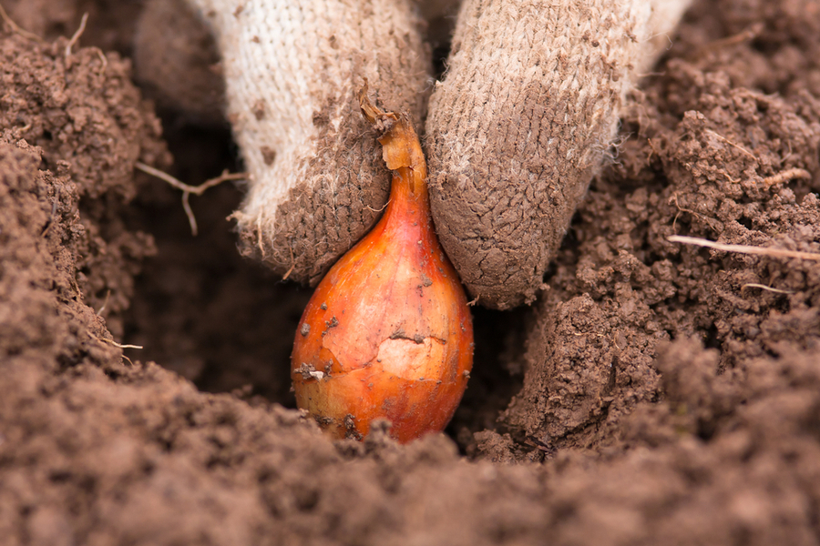planting spring onion sets
