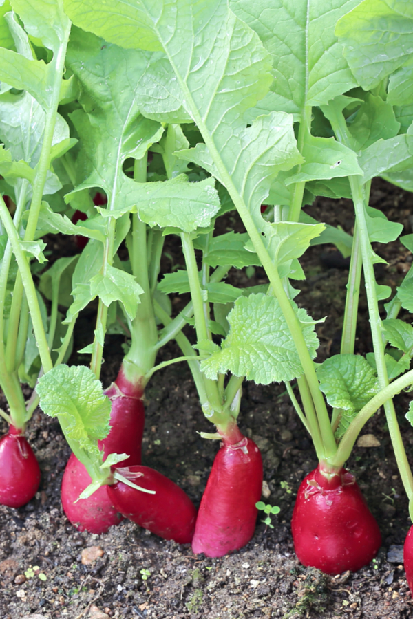 planting early spring crops - radishes