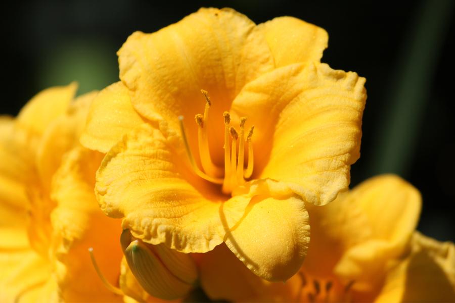 spring daylily care
