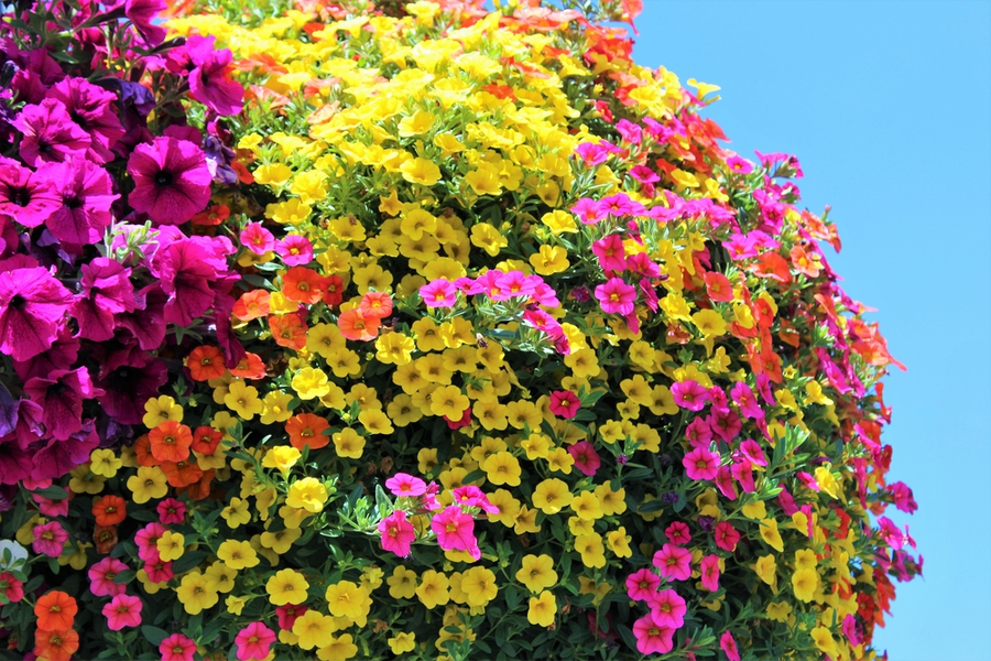 best hanging basket plant