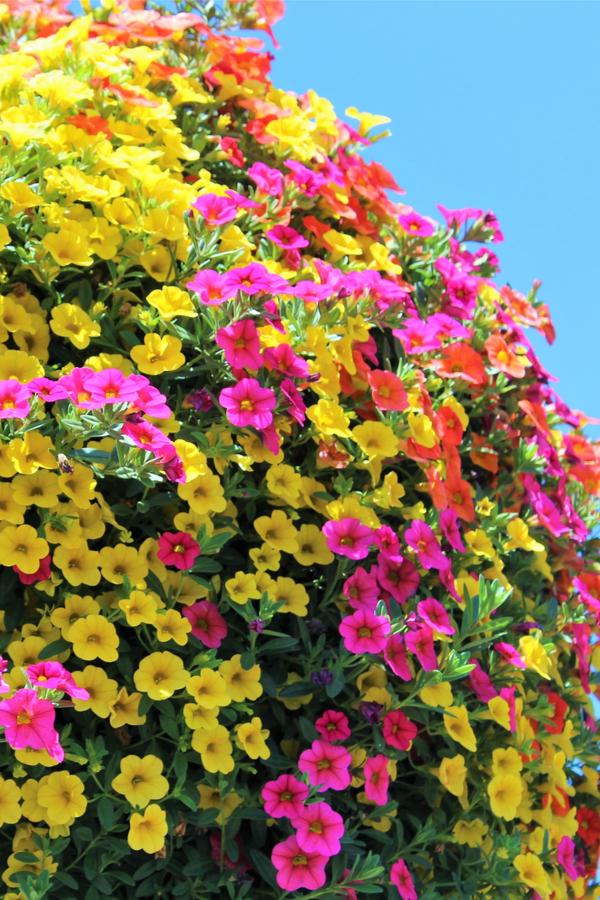 best hanging basket plants