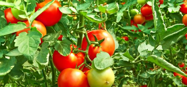 determinate or indeterminate tomatoes