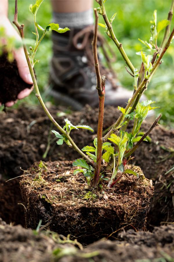 planting perrennial fruit