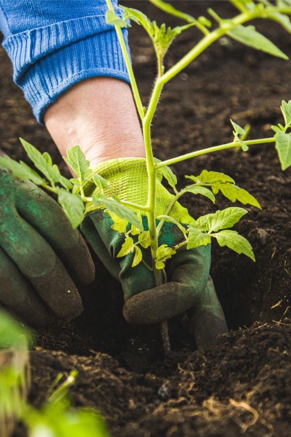 plant tomatoes deep
