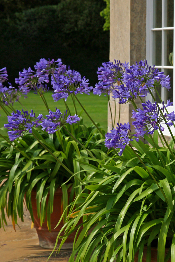 agapnthus blue - perennial