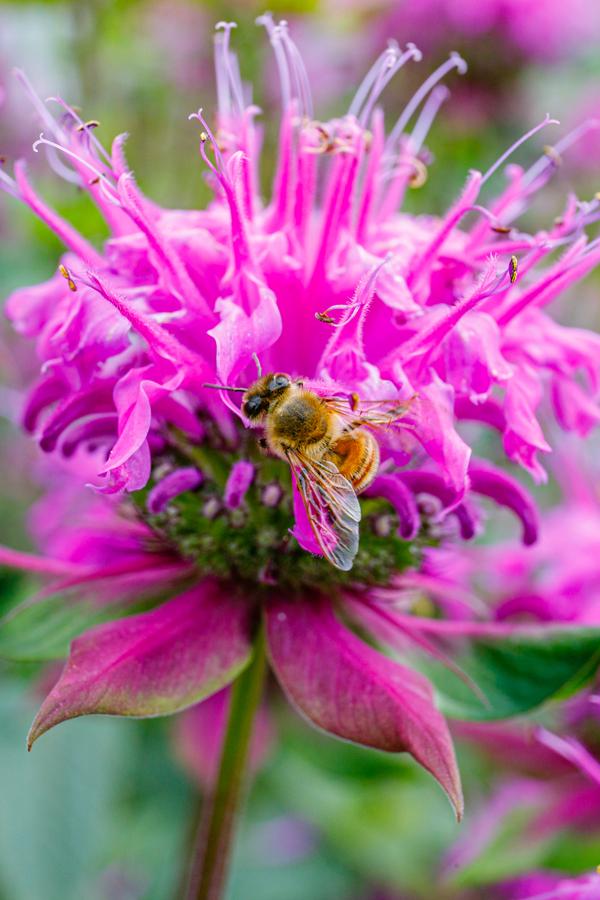 deer resistant - bee balm