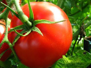 fertilize tomatoes
