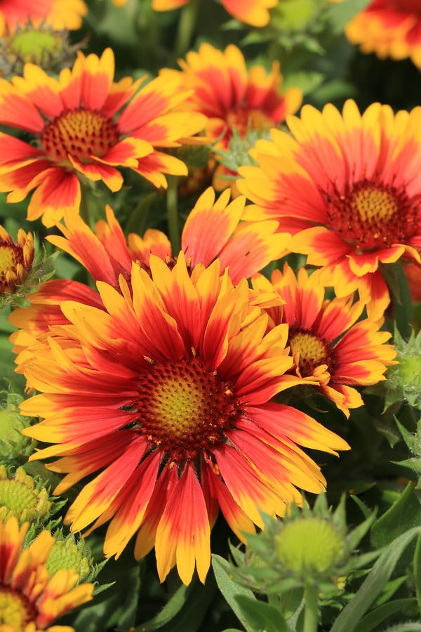 blanketflower blooming