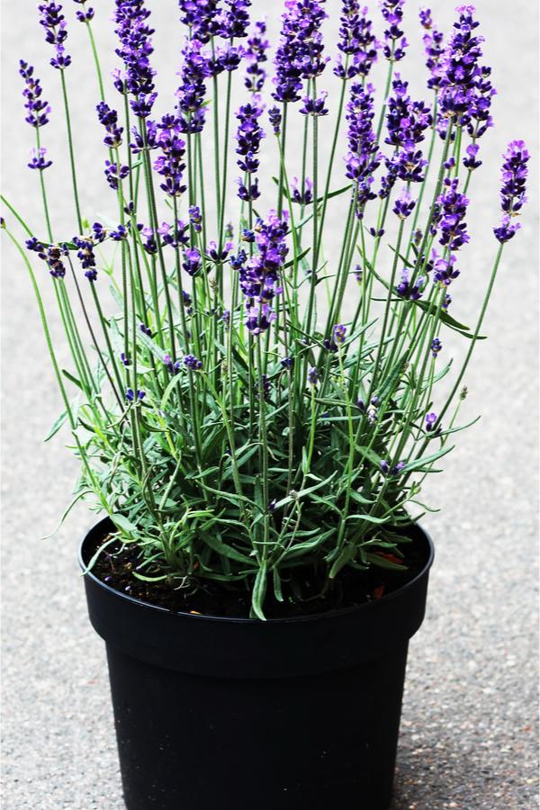 perennials in pots - lavender
