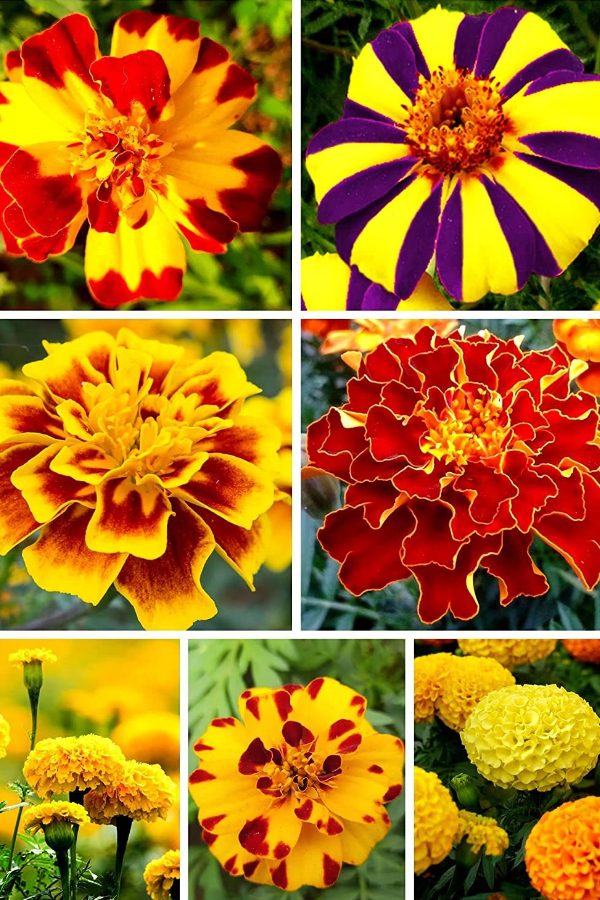 marigolds and mosquitoes