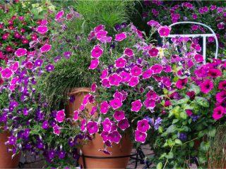 keep petunias blooming