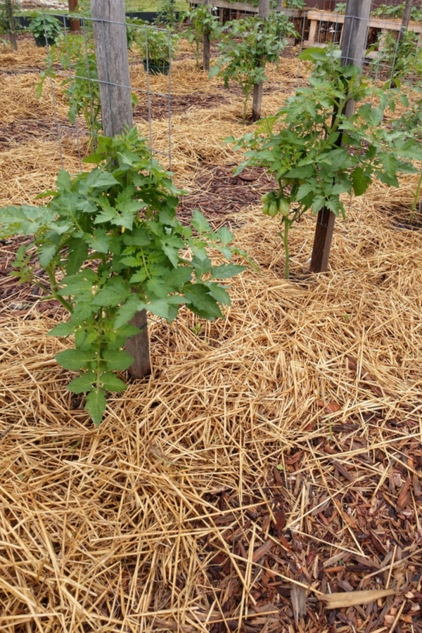 staking tomatoes - how to best plant tomatoes