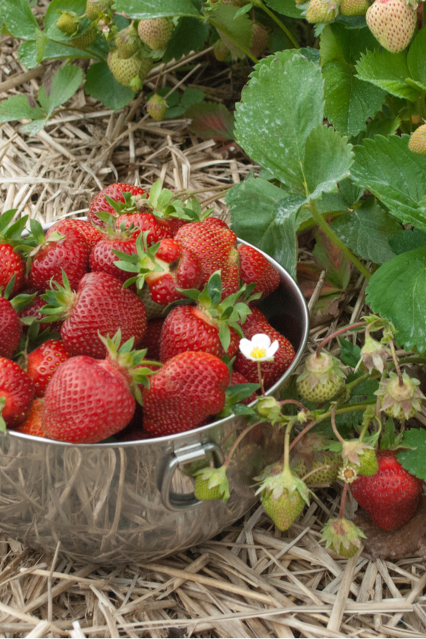 strawberries picked