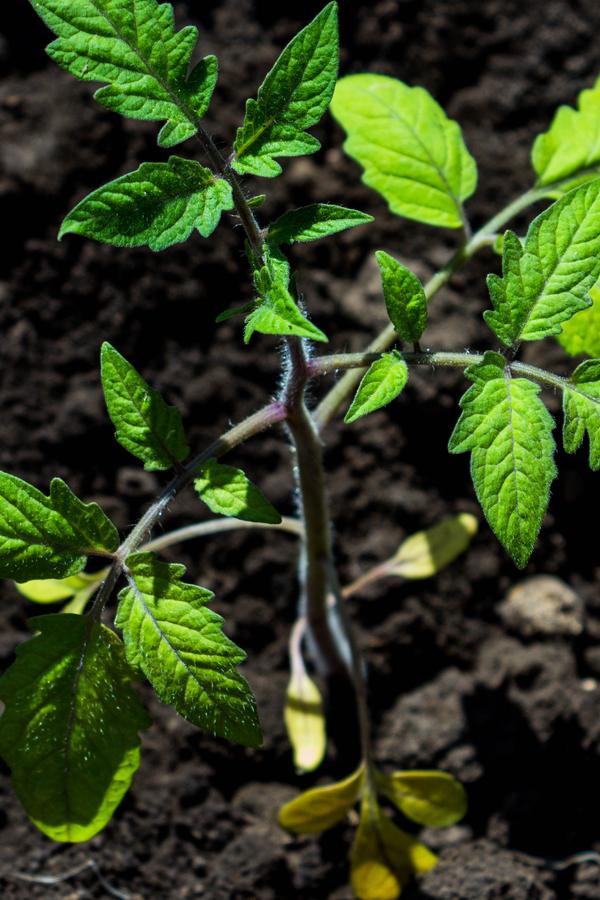 best way to fertilize tomato plants