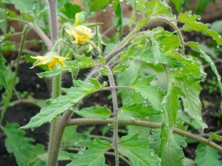 how to help struggling tomatoes