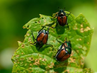 how to stop Japanese Beetles