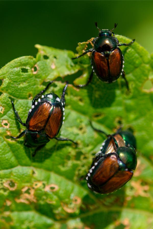 how to keep beetles away naturally